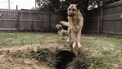 German Fox Shepherd Backyard Inside Playful Baffled