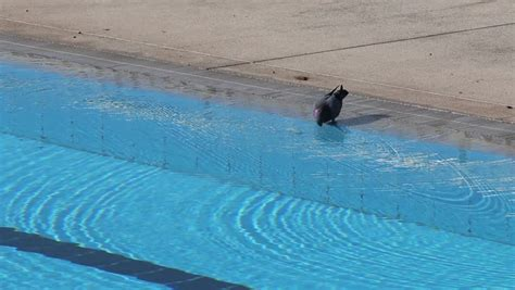 Pigeons Drinking Water From Swimming Pool Stock Footage