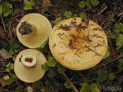 Lactarius scrobiculatus - dzeltenā krimilde 2