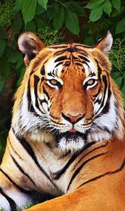 iPhone 6S Plus Animal/Tiger Wallpapers ID: 583608 Desktop ...