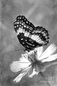 Butterfly In Black And White Photograph by Betty LaRue