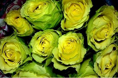 Flowers Yellow Roses Winter Fab