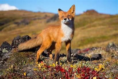 Wildlife Animals Fox Desktop Backgrounds Wallpapers Animal