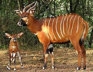 bongo antelope | Bongo - Beautiful Striped Forest Antelope ...