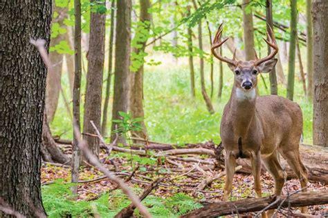 forest deer national wayne hunting whitetail ohio buck attract diy plentiful romig animals hunter jack bucks fleet farm animal funeral