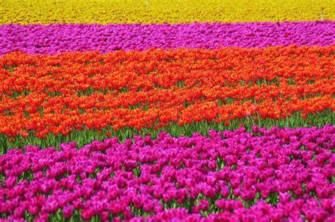 amsterdamse bloemen tulpen tulpen hollands k 246 nigin der blumen ferienhaus holland