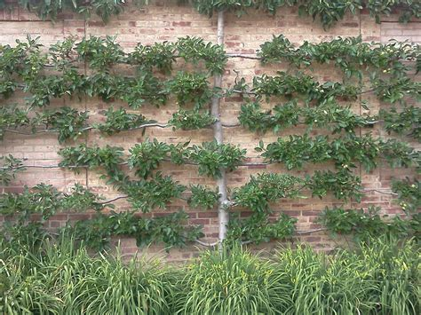 espaliered trees stepford sisters espalier trees