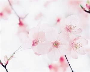 japanese cherry blossoms on Tumblr