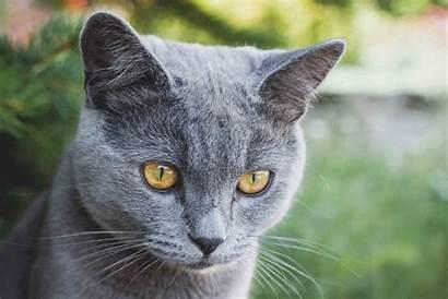 Cat Russian British Shorthair Animal