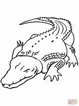 Crocodile Baby Drawing Coloring Saltwater Australian Printable sketch template