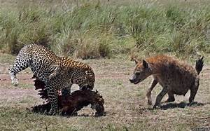 Who's laughing now: Leopard has last laugh after defeating ...