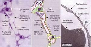 Blood Flows Through Alveolar Capillaries That Are