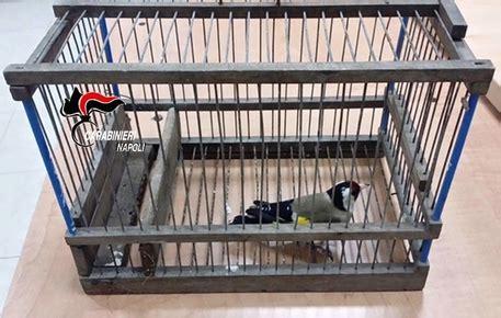 cardellini in gabbia cardellini in gabbia tre denunciati cania ansa it