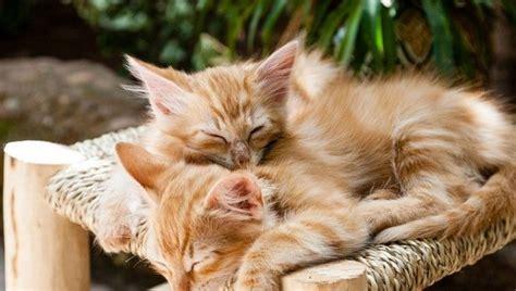 Why cats sleep on you