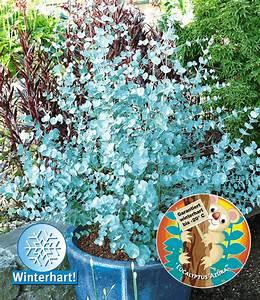 Blühende Sträucher Winterhart : eukalyptus passionsblume weitere zierstr ucher bei baldur garten ~ Whattoseeinmadrid.com Haus und Dekorationen