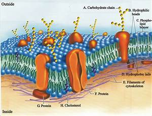 Diagram Phospholipid Bilayer Labeled