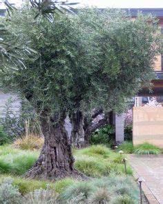 Planter Un Olivier En Pleine Terre : planter un olivier fiches conseils pinterest ~ Farleysfitness.com Idées de Décoration