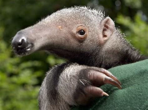 Anteater Meme Generator - the 308 best images about anteater on pinterest central america sloths and the zoo