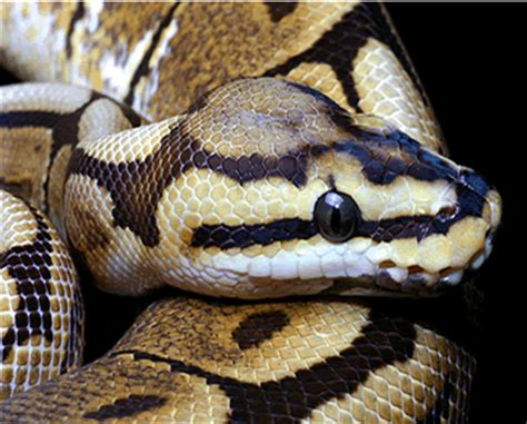 Snake Skin Shedding Frequency by Apollo Python