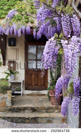 copy right free pictures of purple wisteria wisteria vine stock images royalty free images vectors