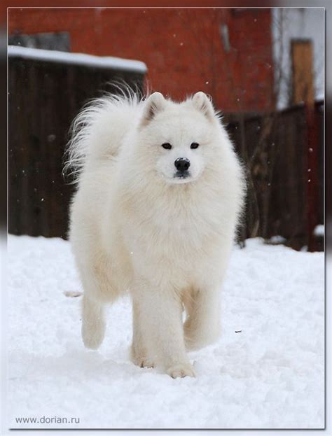 17 Best Images About Samoyed On Pinterest Beautiful Dogs