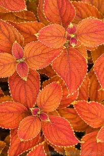 Orange Coleus Plants