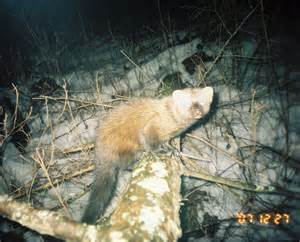 where do fisher cats live fishers in massachusetts fisher cats pictures of fishers