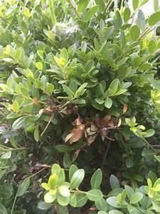 Ilex Crenata Krankheiten : ilex crenata bekommt verliert bl tter was soll ich unternehmen fragen bilder pflanz und ~ Orissabook.com Haus und Dekorationen