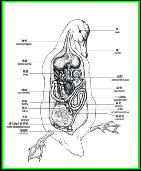duck anatomy google search fun with anatomy and other