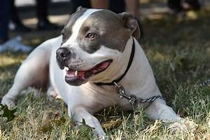 Pit Bull Bans  Why Animal Advocates Oppose Them And Prince