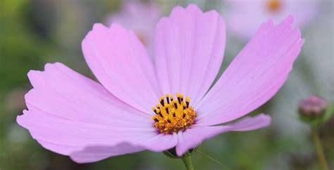 immagine fiore rosa fiori rosa nomi e immagini idee green