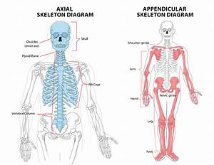 1 1  U2013 The Skeletal System