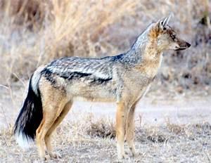 black-backed jackals | Natural History