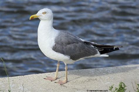 Presumed Hybrid Lesser Blackbacked Gull X European