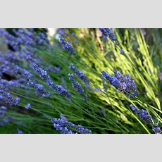 Daily Home & Garden Tip Make The Most Of Fragrant Plants