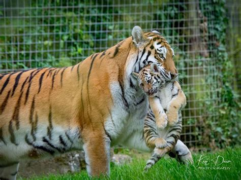 filial cannibalism   animals  kill  eat
