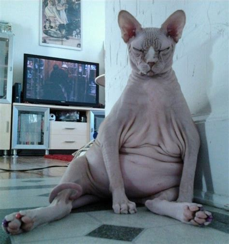 124 best Hairless Cats images on Pinterest Baby kittens