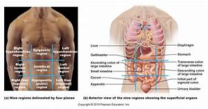 Anatomy And Physiology I Coursework  Nine Abdominopelvic Regions