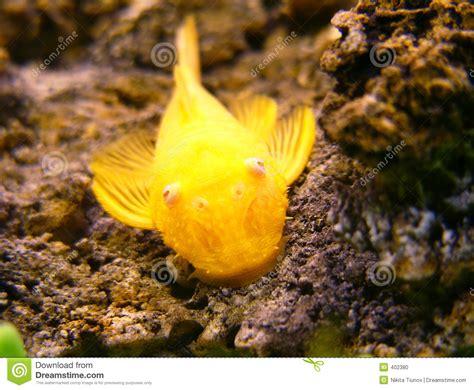 poisson chat d aquarium poisson chat d or photo stock image 402380