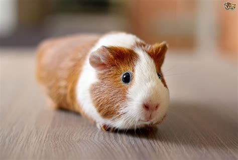ginnie pig 10 groovy guinea pig facts pets4homes