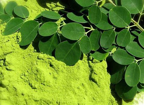 inilah  membuat tepung daun kelor  kaya manfaat
