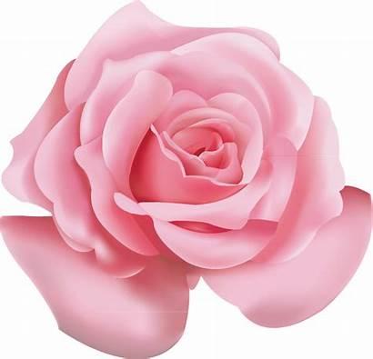 Rose Roses Flower Transparent Icon Clipart Clip