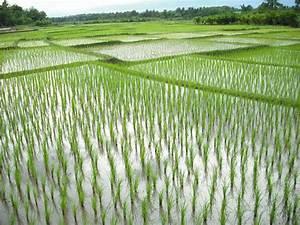 Rice Growing Season In Phrae