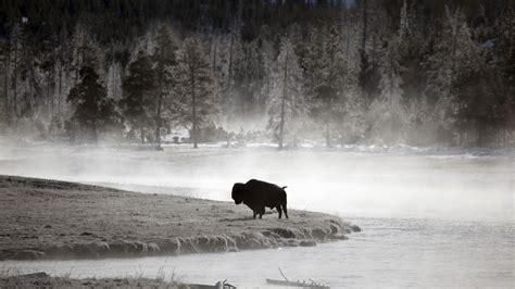 bison hd wallpapers wallpapersnet