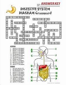 Digestive System Crossword With Diagram  Editable