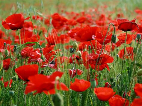pictures of poppies flowers wallpapers poppy flowers desktop wallpapers