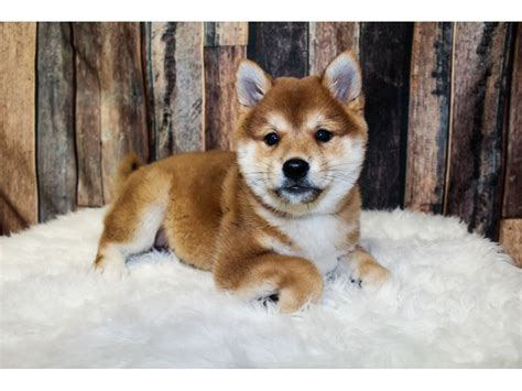 Most shiba inu have curled tails, but the dog may have a less common tail type called a sickle tail. Shiba Inu-DOG-Female-Red-2896584-Petland Round Lake Beach, IL