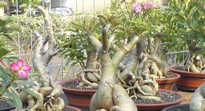 tanaman hias harga super mahal dunia