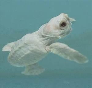 Albino Sea Turtle | Deep Blue Sea | Pinterest