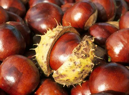 close   conkers fruit   horse chestnut tree